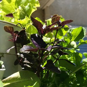 TG purple basil