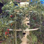 Tower Garden tomatoes