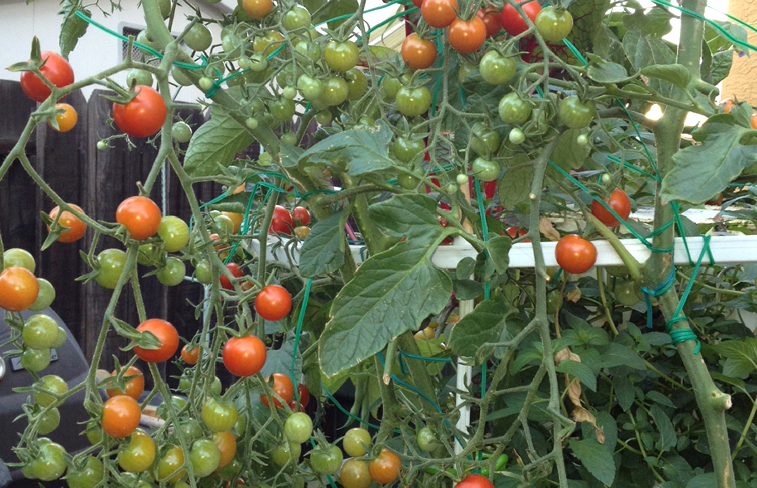 100s of tomatoes