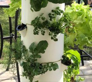 parsley and arugula