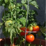 patio tomato container