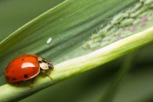 ladybugs:aphids