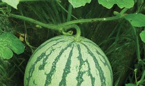 watermelon copy 2