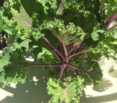 kale small red