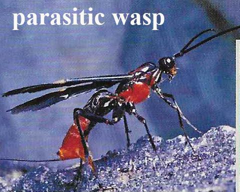 parasitic wasp copy