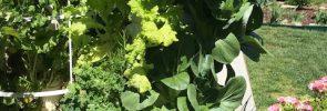 TG red kale, lettuce bok choy